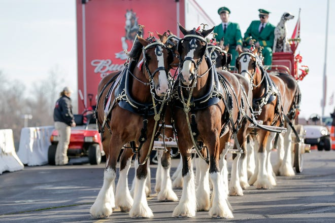 The Budweiser Clydesdales walk through the parking lot at FedEx Field before an NFL football game between the Washington Redskins and the New York Giants in Landover, Md., Sunday, Jan. 1, 2017. (AP Photo/Mark Tenally)