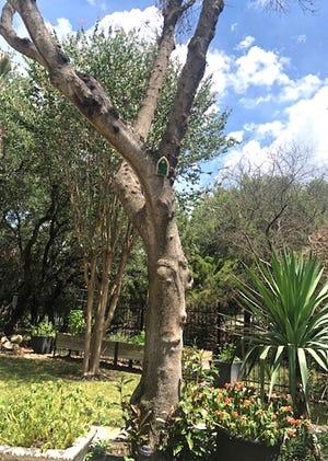 Japanjese Blueberry Tree Regrowth At Base