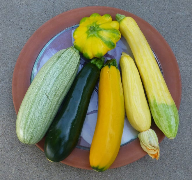 Six summer squash harvested at the correct stage of development. From the left are three zucchini, 'Ortolana di Faenza', an Italian heirloom; dark green, almost black 'Raven'; 'Golden Dawn'; 'Multipik' is a yellow straightneck summer squash; 'Zephyr', bicolor yellow and green summer squash; and 'Y-Star', a yellow and green variegated pattypan type summer squash.