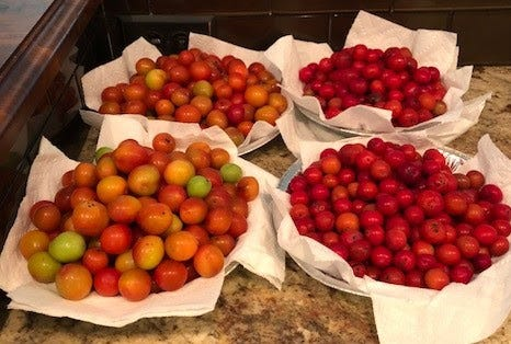 Sandhill plums are a welcome product of the natural prairies in southcentral Kansas.