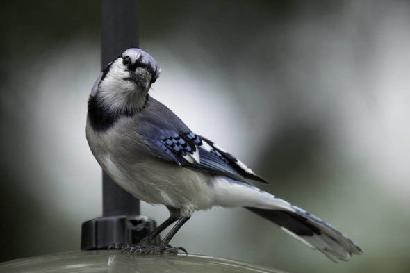Though numerous states are receiving reports of a mysterious illness affecting songbirds, such as blue jays (pictured), Missouri Department of Conservation says there is no indication of the illness affecting birds in Missouri. The public is still encouraged to be on the lookout for groups of sick and dead birds and report them to WildlifeHealth@mdc.mo.gov.