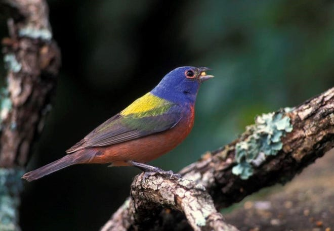 Painted buntings are among the bird species that people can get a status update on at a July 20 in-person and July 21 virtual program put on by staff at the Missouri Department of Conservation's Shoal Creek Conservation Education Center.