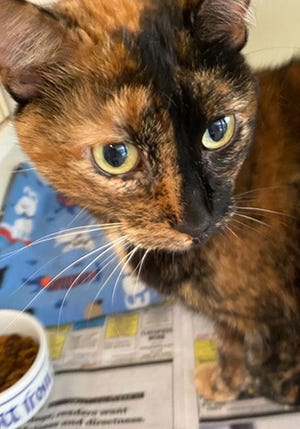 Cinnamon, an adult female domestic short hair, is available for adoption from SAFE Pet Rescue of Northeast Florida. Vaccinations are up to date. Call 904-325-0196.