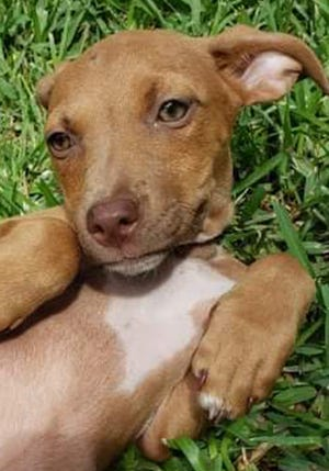 Lima, a baby male mixed breed, is available for adoption from Wags & Whiskers Pet Rescue. Routine shots are up to date. Call 904-797-6039 or go to wwpetrescue.org.