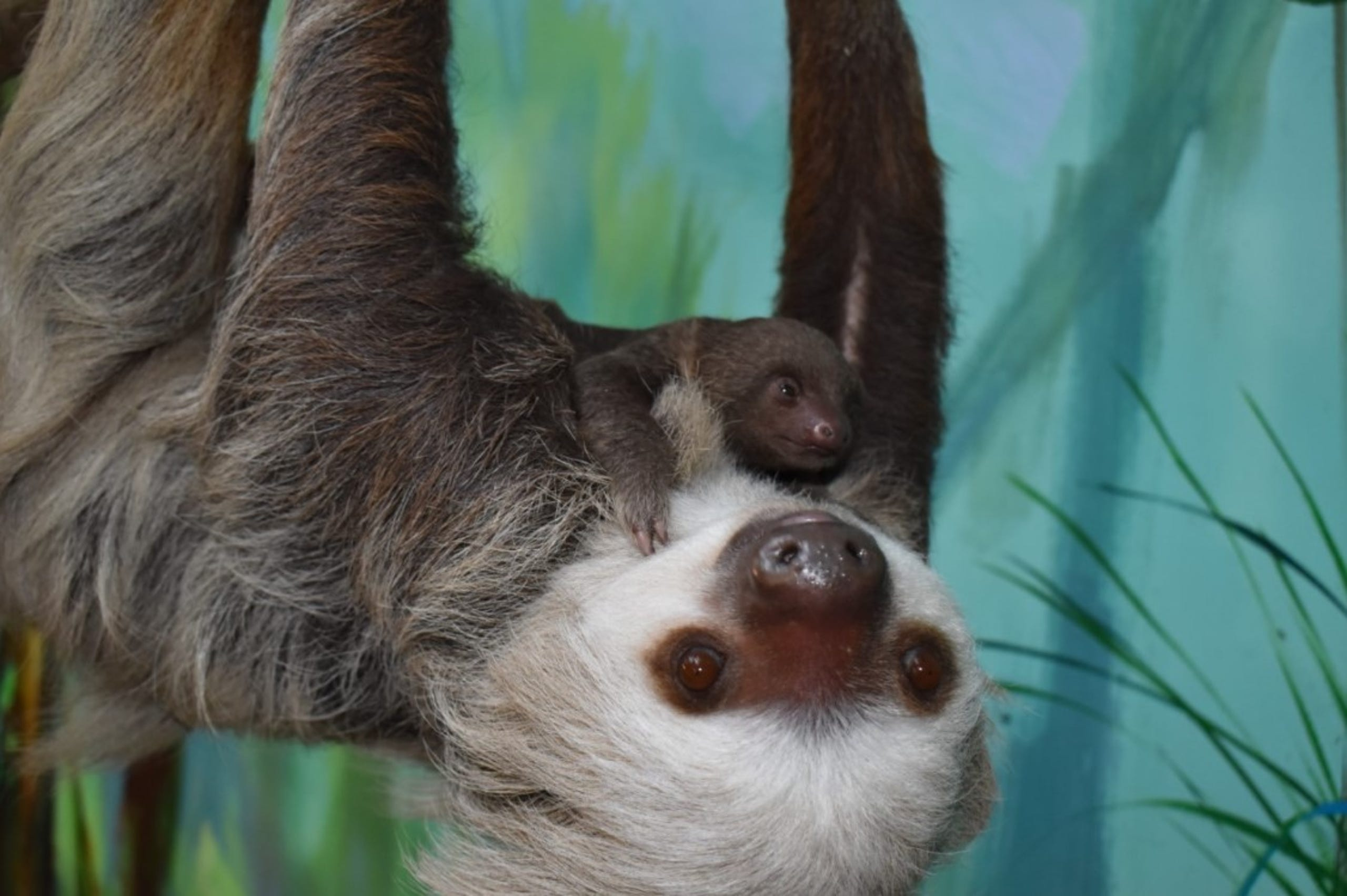 A baby two-toed sloth has been born at Buttonwood Park Zoo -- the first in the zoo's 127-year history.