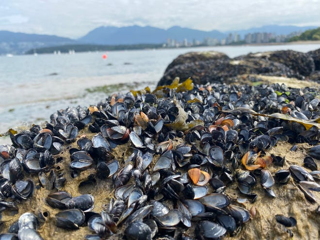 Millions of sea creatures, including mussels, are found dead on Kitsilano Beach in British Columbia.