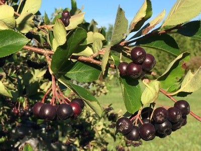 Aronia Are Among The Fruits Grown As Part Of The Northern Hardy Fruit Evaluation Project At The Carrington Research Extension Center.