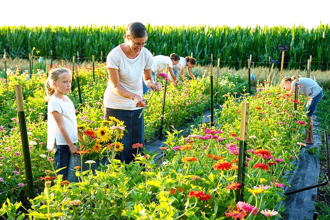 Jenny Wenger, center, harvests flowers with Kayla Schaffer's family on a farm near Pontiac.