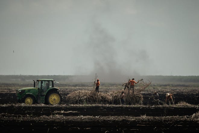 Workers tend to harvested cane field on a US Sugar Corp parcel at the southeast corner of Gator Boulevard and Duda Road in Belle Glade, Fla. on Monday, September 28, 2020. [THOMAS CORDY/palmbeachpost.com]