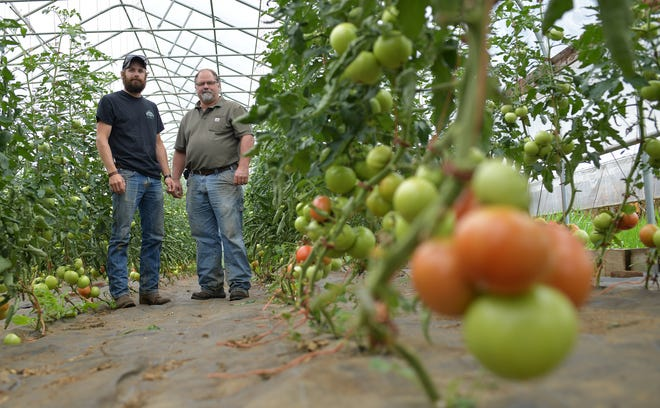 Son and father, Neil and Scott Johnson, with high-tunnel tomatoes at Kettle Brook Farm in North Brookfield.