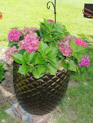 Brenda Abney, of Attalla, recently purchased this mophead hydrangea, which produces deep pink to red blossoms. To maintain these same colorful blossoms each year, she will need to apply agricultural lime to the plant container each growing season. In future years, as this lovely hydrangea continues to grow, Brenda may want to move it into a larger plant container, or she may choose to plant the shrub directly in the landscape.