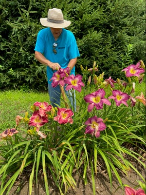 Derryll Keatting begins digging to separate a clump of an unnamed daylily with huge red to purple blooms and light throat. This delighted Julie Rexroad and me.