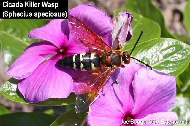 Cicada killer wasps are considered beneficial insects.