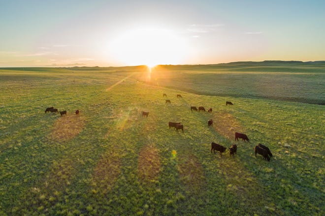Cattle in shortgrass prairie on Rockin' 7 Ranch, an Audubon-certified conservation ranch in Converse County, Wyoming, on June 4, 2019.