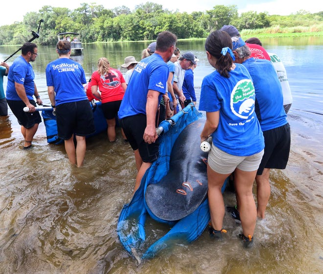 Teams from Florida Fish and Wildlife Conservation Commission, SeaWorld, Save the Manatee Club and Volusia County mammal stranding team release an adult manatee and its calf into the St. Johns River near Blue Springs State Park on July 14 following rehabilitation.