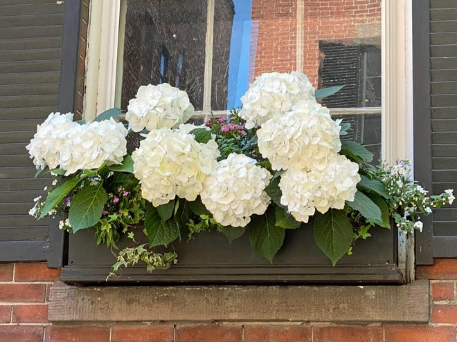 Many of the homes on Beacon Hill are enhanced with flower window boxes.