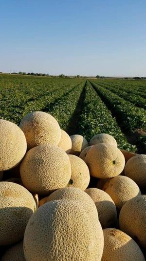 Rocky Ford Cantaloupes from Knapp Farms