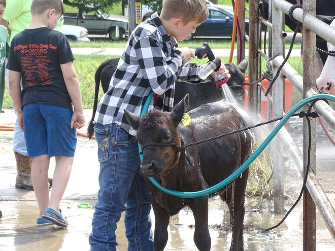 The calves were being washed and prepped for the Beef show at the fair.