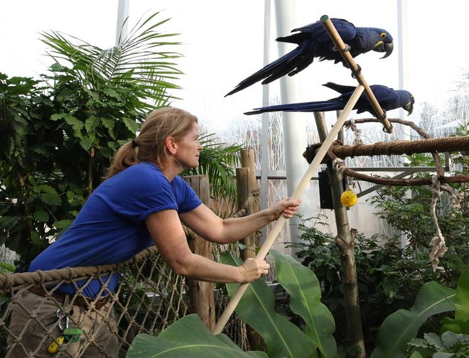 """In this 2018 photo, Amy and Angel, a pair of female hyacinth macaws at the """"Faces of the Rainforest"""" exhibit, are placed in their living area by zookeeper Jen Hennessy."""