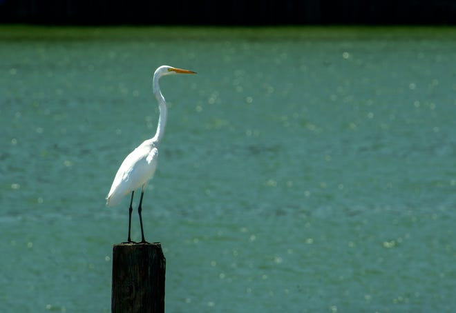 An egret stands on a piling with a backdrop of blue/green algae-tinted waters at the Port of Stockton Turning Basin on Aug. 7, 2019, in Stockton.