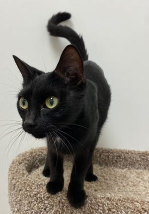 Evie, a 2-year-old female domestic short hair, is available for adoption at the St. Johns County Pet Center, 130 N. Stratton Road. Cat adoptions fees, $30 for males and $40 for females, include neutering/spaying, rabies vaccinations and shots. Call 904-209-6190.