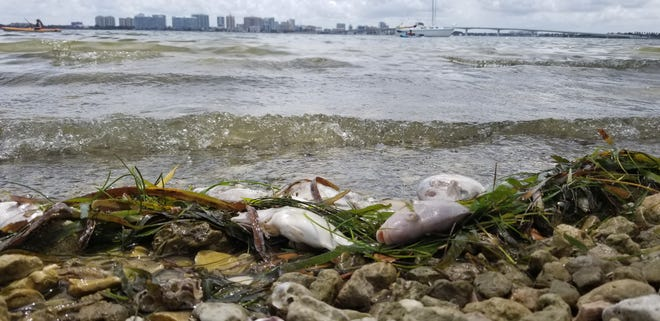 A file photo from mid-July from Ken Thompson Park in Sarasota Bay, where many dead fish have washed ashore in recent weeks.