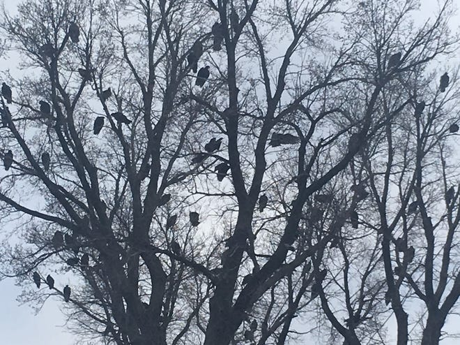 Dozens of turkey vultures roost in a tree near state Sen. Randall Hardy's Salina home.