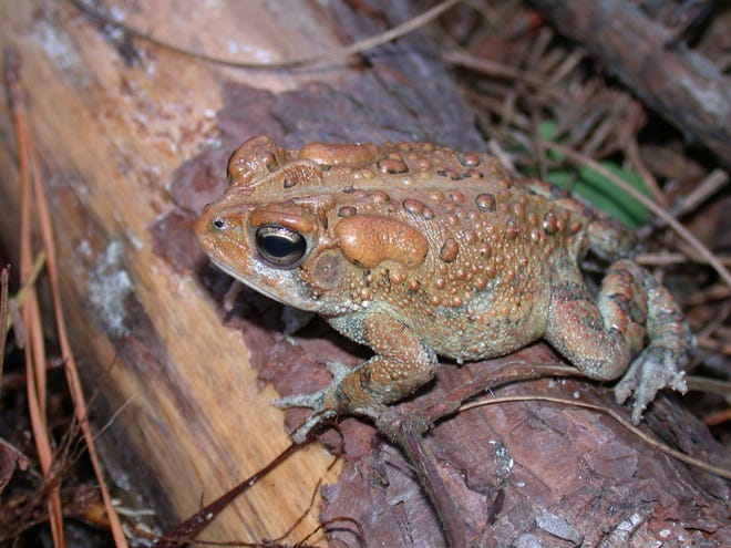 A pair of parotoid glands is evident on top of the head of a southern toad, a common species in the Southeast. These large glands produce toxic secretions that can appear as a milky liquid if the gland is squeezed. [Photo courtesy J.D. Willson]