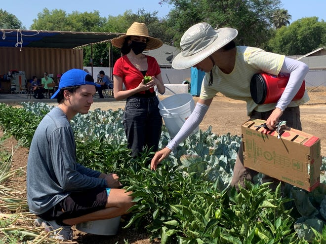 Banning's Future Fellowship members Chris Castorena and Rania Saber help to pick a bountiful harvest of bell peppers.