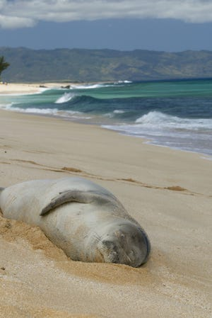 An endangered Hawaiian Monk seal naps on a beach near Banzai Pipeline on the North Shore of Oahu, Hawaii, in this file photo from June 27, 2002.