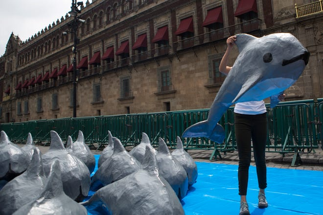 A young woman with the World Wildlife Fund carries a papier mache replica of the critically endangered porpoise known as the vaquita marina, during an event in front of the National Palace in Mexico City. The Mexican government announced Wednesday, July 14, 2021, that it is officially abandoned the policy of maintaining a fishing-free zone around the last 10 or so remaining vaquita marina.