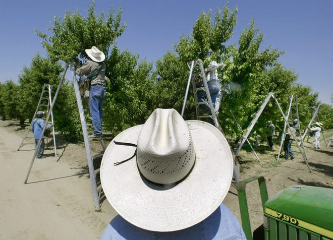 In this May 13, 2004, file photo, a foreman watches workers pick fruit in an orchard in Arvin, Calif.