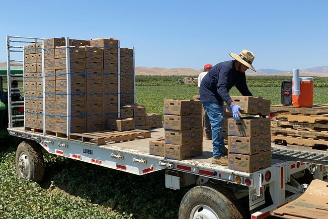 Farmworkers at Del Bosque Farms stack boxes of melons on a mobile platform in Firebaugh, Calif., on Friday, July 9, 2021, where temperatures were expected to surpass 110 degrees this weekend.