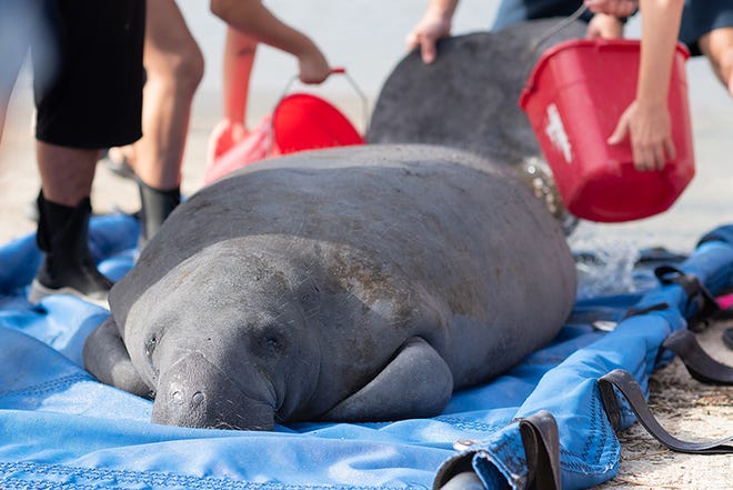 A manatee named Gerard awaits release into St. Augustine waters after being rehabbed at the Jacksonville Zoo and Gardens. He was found in Palm Coast in April, ill and thin.