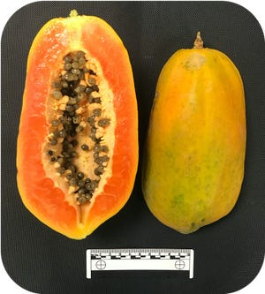 """Papaya cultivars are often categorized as either large papayas referred to as """"Mexican"""" or """"Formosan"""" papayas, shown here, or small, pear-shaped papayas known as 'solo' types."""