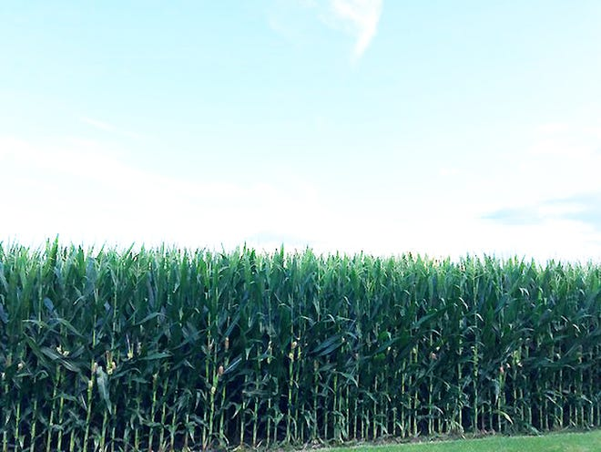 A Livingston County cornfield is shown Monday afternoon.