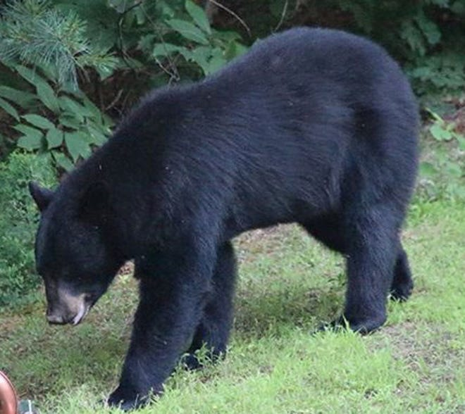 A black bear was spotted in Johnston this week. The Rhode Island Department of Environmental Management says Rhode Island's black bear population is low, but they are spotted on occasion.