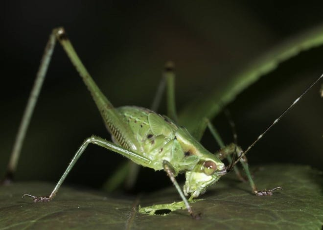 The sounds a katydid makes at night is one of the many things people can learn about at a program about nocturnal nature on July 23 at Cunningham Park in Joplin. This free event is a cooperative effort of the Missouri Department of Conservation, the Wildcat Glades Friends Group, and the Joplin Parks and Recreation Department.
