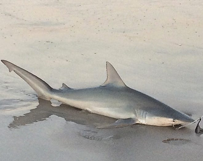 This shark was caught in the surf off Wrightsville Beach in June of 2015, by a fisherman.