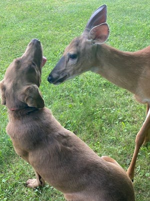 Dog Beau is shown with the male deer that has befriended the Cottrell family in Uhrichsville.
