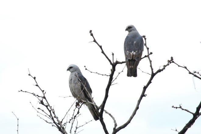 A pair of Mississippi Kites sit in the uppermost branches of a tree.