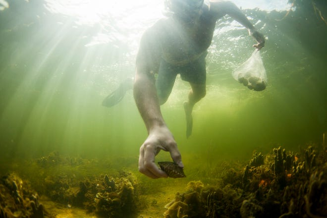 Wildlife, including scallops, depend on seagrass and protecting the grasses from boat anchors and propellers helps to keep populations healthy.