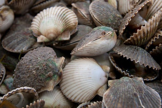 Fresh caught scallops. Scallop season in Wakulla, Franklin and Taylor counties runs from July 1-Sept. 24, 2021