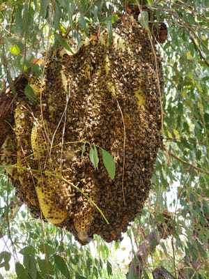 Three tree trimmers were taken to the hospital with severe bee stings Wednesday after apparently trying to knock down a colony in Thousand Oaks. A bee removal service later collected the colony.