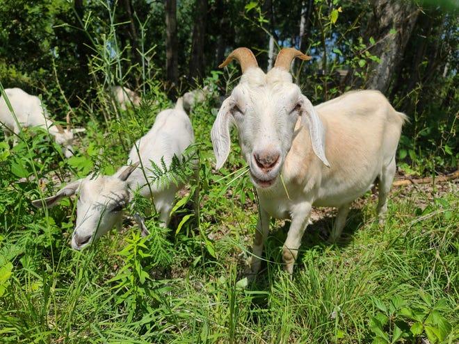 Around 50 grazing goats are munching on invasive plant species on Barker-Stewart Island in Wausau.