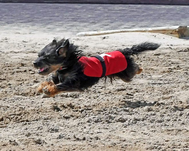 Millie Jo runs at full throttle during the wiener dog race at Prairie Meadows. She has been the champion runner each of the three years that she has competed in the race.
