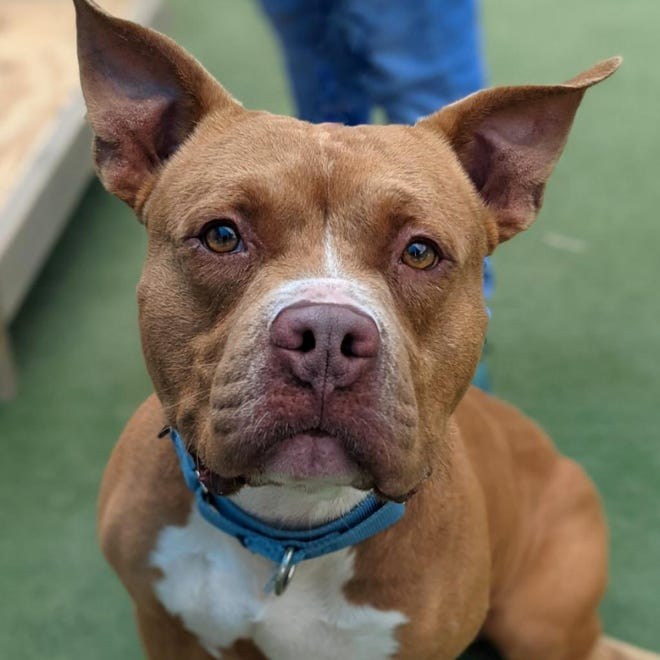 Name: Pancho  Gender: Male  Age: 5 years old  Weight: 64 pounds  Species: Dog  Breed: Terrier, American Pit Bull- Brown  Orphaned Since: May 2021  Adoption Fee: $100     Yippers, my name's Pancho! I was found hanging out at the local Chick-fil-A. Now, I won't admit to anything, but maybe I was following my nose and climbed a fence to get there. Those nuggets do smell good ya know. I'm a happy guy who likes people. I get along with other dogs but have a preference for female ones. I love my toys and will carry them everywhere with me. So cute of me! If you'd like a carefree guy like me in your life, contact SPCA Florida today!