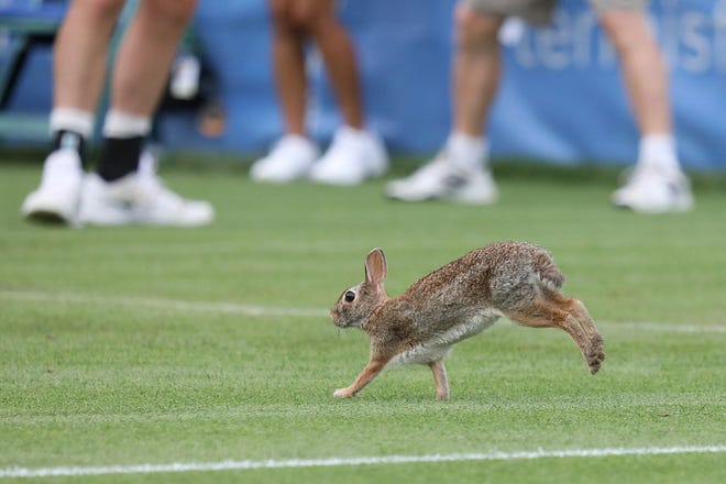 A rabbit made its way onto Stadium Court in Newport at the Hall of Fame Open on July 12.
