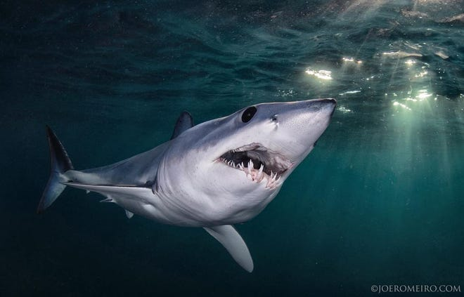 """Laurenand JoeRomeiro, who took this photo of a shark, will be featured on the Discovery Channel's show,""""Return to Shark Vortex,"""" on Saturday night."""