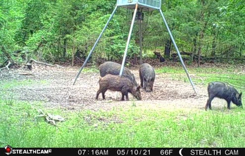 Wireless cellular trail cameras allow you to monitor the woods from wherever you are. This photo came straight from the woods to Luke's cell phone.